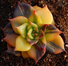 "Echeveria ""Black Prince"" variegated 