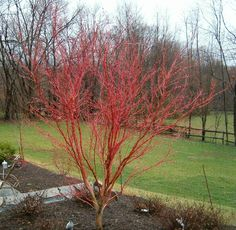 Coral Bark Japanese Maple Botanical Name: Acer palmatum 'Sango kaku' Category: Ornamental Trees Height: Spread: Exposure: Sun to Part Shade Care: None; prune to shape as desired Outdoor Plants, Garden Plants, Outdoor Spaces, Outdoor Living, Coral Bark Maple, Specimen Trees, Landscaping Trees, Plant Catalogs, Acer Palmatum