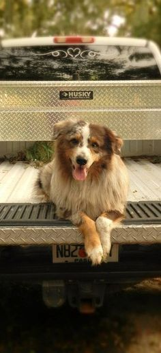 Our Aussie , Koda . They are the best dogs , so smart and loving. Australian Shepherd Puppies, Aussie Dogs, Australian Shepherds, Cute Puppies, Cute Dogs, Dogs And Puppies, Doggies, Blue Merle, American Shepherd