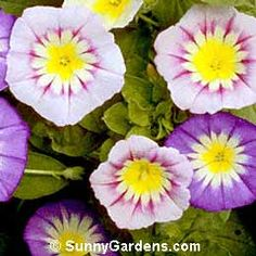 Convolvulus tricolor, Dwarf Morning Glory