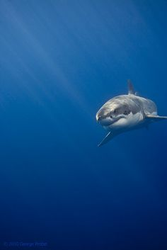Great White Shark Sun Rays by George Probst