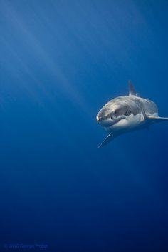 Great White Shark Sun Rays | Flickr: partage de photos!