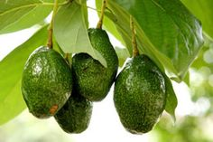 Daniel Kalliontzis is raising funds for AvoSeedo - Grow your own Avocado Tree with ease! on Kickstarter! AvoSeedo has been developed to facilitate the germination process. It has never been easier to grow your own avocado trees! Fiber Rich Fruits, Growing An Avocado Tree, Real Food Recipes, Healthy Recipes, Healthy Foods, Healthy Eating, Mango, Sources Of Dietary Fiber, Food Intolerance