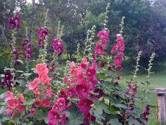 Flowers: Holly Hocks