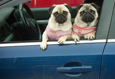 we-heart-pugs: Photo