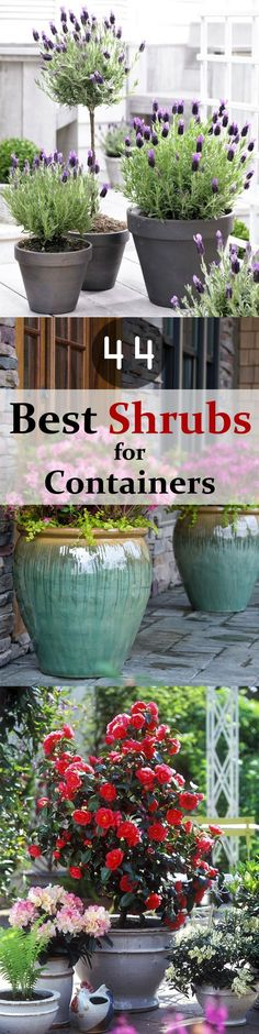 Container Gardening Check out 44 Best Shrubs for Containers. You might know some plants and some may… - Check out 44 Best Shrubs for Containers. You'll like to have some of these shrubs right away in your container garden. Garden Shrubs, Lawn And Garden, Garden Pots, Garden Landscaping, Home And Garden, Terrace Garden, Garden Web, Landscaping Software, Landscaping Ideas