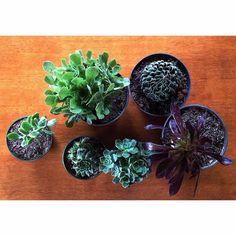La semana pasada le compramos estas plantas a Liliana Mogollon (@rolilita en Instagram). Estaban ingeniosamente empaquetadas y llegaron perfectas.
