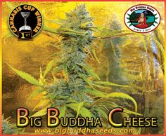 The Big Buddha Cheese has now truly become the UK's #1 strain!