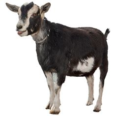 A goat standing in the barnyard with dark fur.