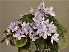 Allegro Chicory Charm | (J. Stromborg) Semidouble-double light lavender-blue wavy pansy. Dark green, heart shaped, glossy, scalloped/red back. Semiminiature.