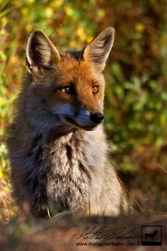 Red Fox by Matteo Berbenni on 500px