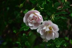 Morsiusruusu
