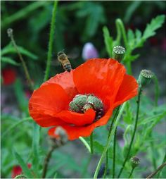 poppy flower - Google Search