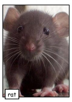 Want to have pet rats? Rats are great pets, and they have so many different benefits. If you have decided to have rats as pets, here are the reasons why you've made a great decision! Funny Rats, Cute Rats, Animals And Pets, Baby Animals, Cute Animals, Hamsters As Pets, Pet Rodents, Rat Care, Dumbo Rat