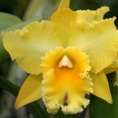 #cattleya #orchid - learn 2 #grow http://www.growplants.org/growing/cattleya