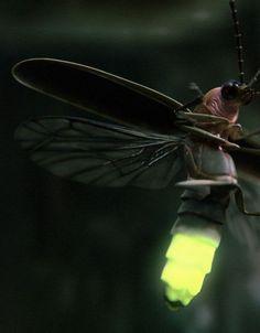 fireflies (aka. lightning bugs)