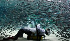 A diver wearing a chef uniform performs with sardines as part of summer vacation events at the Coex Aquarium in Seoul, South Korea, Friday, July 22, 2011.    Author: CBSNews.com staff    Credit: AP Photo/ Lee Jin-man