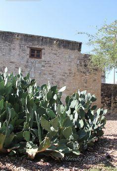 The Alamo Cactus is amazingly large and wavy.  #cactus #TheAlamo #sanantonio #texas