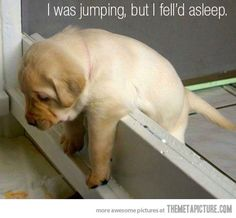 i was jumping, but i felld asleep, cute, puppy, labrador Cute Puppies, Cute Dogs, Dogs And Puppies, Cute Babies, Doggies, Baby Dogs, Chubby Puppies, Labrador Puppies, Cute Baby Animals