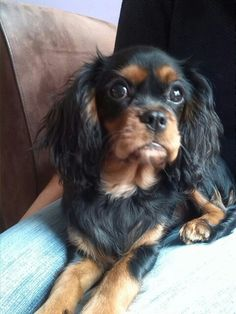 Gup the Cavalier king charles spaniel. Next one - I want a black and tan