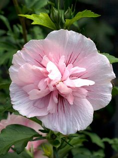 Hibiscus Pink Chiffon. Beautiful...can't wait to plant!!