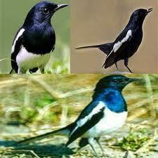 9 Cara Ternak Kacer Ideas Poci Bird Parrot Bird
