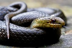 Red-bellied swamp snake