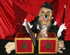 """DIY Homemade Halloween Costumes for Pets: """"Golden Magic"""" magician costume for dogs made with cardboard boxes!"""