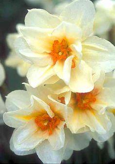 """""""Mary Copeland"""" Daffodil"""