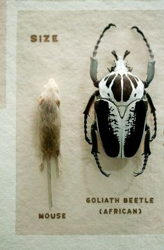 Goliath beetle. How cool would it be to just have those crawling around your neighborhood?