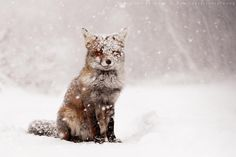 """Fairytale Fox - <strong> Red Fox in a Snow Shower</strong>  I would smile, too with a beautiful warm coat like that! :D <a href=""""http://www.roeselienraimond.com"""">roeselienraimond.com</a> 