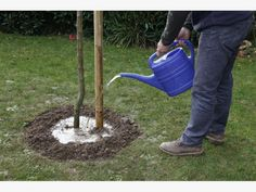 so pflanzen sie einen amberbaum zierg rten pinterest garten pflanzen und baum. Black Bedroom Furniture Sets. Home Design Ideas