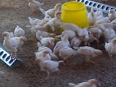 CHICKENS LEGHORNS  FOR SALE FOR R 20 EACH  130