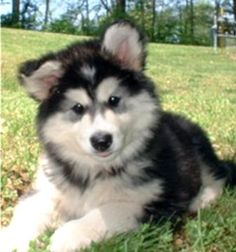 alaskan malamute puppy...the fluffiest thing God ever created!