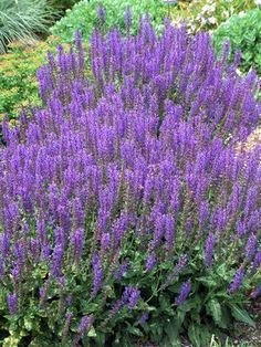 Salvia (Salvia-Perennial) - May Night (Mainacht) - Click Image to Close