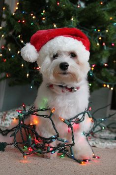 Dog Wrapped in Christmas Lights - With Santa hat!   ~ Ʀεƥɪииεð╭•⊰✿ © Ʀσxʌиʌ Ƭʌиʌ ✿⊱•╮