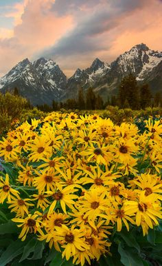 Arrowroot Balsam - Grand Tetons National Park, Wyoming
