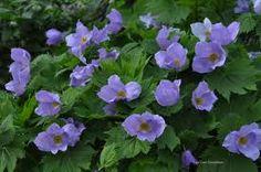 sinikämmen, mikään kuva ei tee oikeutta tämän kukan ihanuudelle