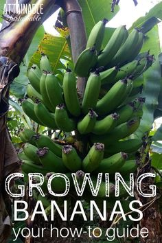 Growing bananas for a tropical harvest is easy, easy in warm climates. But with some extra effort, bananas will grow in cooler regions as well. Here's what you need to know about how to grow bananas, how to harvest bananas, and what banana trees need to thrive. #homestead #growingfood #permaculture via @Attainable Sustainable