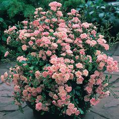 The Fairy Rose, petites roses qui poussent très bien en pot. fleuri plus tard que d'autres rosiers mais ce prolonge bien dans jusqu'au début de l'hiver