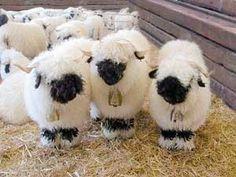 Vailais Schafe — die süßesten Schafe auf der Weide...