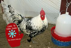 No more frozen water for your chickens! Make a Cookie Tin Waterer Heater in ten minutes, for less than $10!