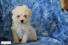 Bichon Frise Puppy for Sale in Ohio  http://www.buckeyepuppies.com/puppy-for-sale/bichon-frise/casper