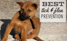 Worried about a flea or tick infestation? Learn the best flea and tick prevention methods for dogs to keep your household pest free. Household Pests, Dog Nutrition, Guide Dog, Dog Hacks, Flea And Tick, Homemade Dog, Collar And Leash, Dog Accessories