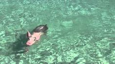 Swimming with the Pigs! #IslandRoutes - Ocean Safari Tour  (#SandalsEmeraldBay)