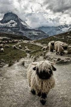 By Susanne La — The valais blacknose sheep, close to the Matterhorn. They are very typical for the region. ) ) By Susanne La — The valais blacknose sheep, close to the Matterhorn. They are very typical for the region. Farm Animals, Animals And Pets, Funny Animals, Cute Animals, Wild Animals, Beautiful Creatures, Animals Beautiful, Valais Blacknose Sheep, Fluffy Cows