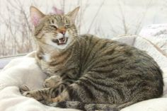 Cat ready for adoption: Domestic Short Hair / Tabby / Mixed (short coat) named Jump in Indianapolis, IN
