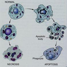 envejecimiento y muerte celular Las células forman parte de todo organismo vivo, en esta presentación hablaremos del cómo es que envejece una célula en todos estos organismos y como es que llega a su etapa final que es la muerte, también explicaremos la diferencia del por qué estos dos procesos no tienen relación alguna en algunos casos