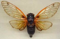 We were in the South of France during Cicada season and they are very loud.