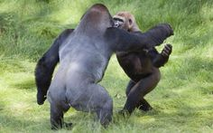 The touching reunion of two Gorilla brothers has been captured at the Longleat safari Park in Wilshire. Siblings Kesho(13) and Alf(9) had been seperated for over two years but stunned staff by recognising one another almost as soon as they were re-introduced